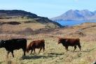 Island Cattle